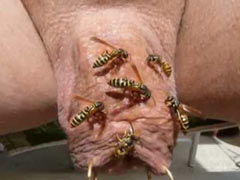 Cock tortured by wasps
